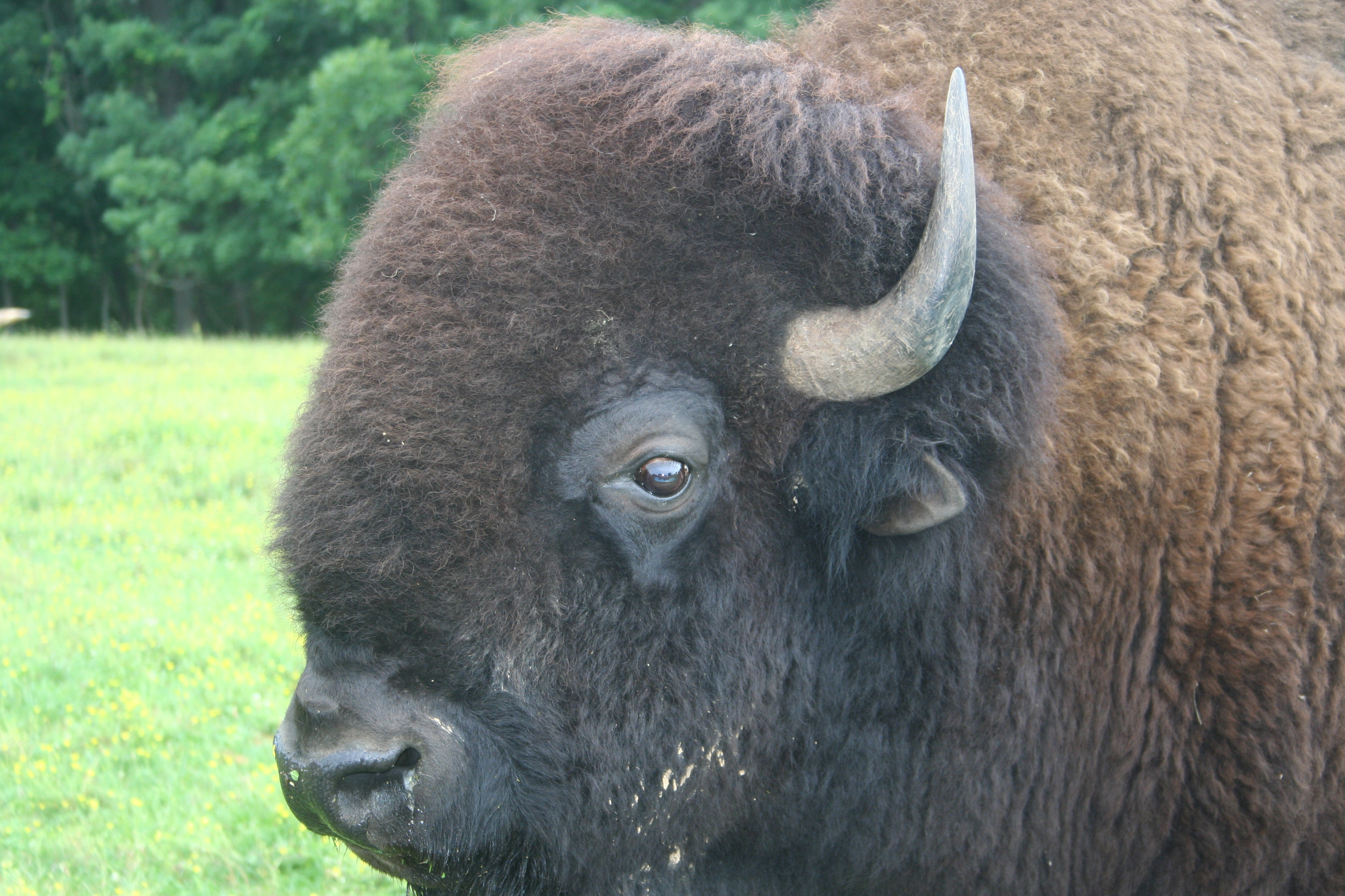 The head of his herd.  American Bison (Bison bison), commonly called buffalo or American buffalo.  These magnificent animals once roamed in huge herds across the Great Plains of North America.   A combination of circumstances (mostly human) brought them to near extinction, but careful conservation has brought them back in large numbers.  We have usually had a small group of these beautiful monsters.