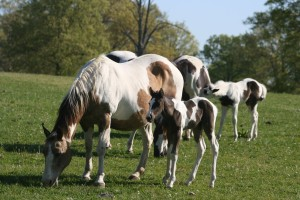 This Tobiano stud colt was born May 4, 2014.  He was sired by the black and white tovero stallion NTA Gimini Cricket and out of the dun and white Zippo Doc Callie.  Available at weaning.